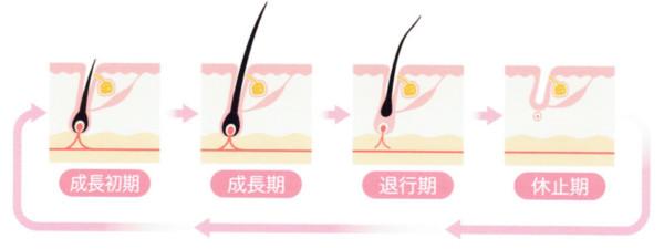毛周期の説明になります